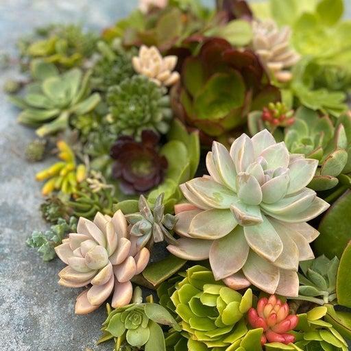 3 Dozens of Assorted Succulent