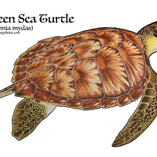 Green Sea Turtle illustration Print